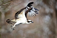 Osprey Taking to flight