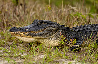 Alligator at Loxahatchee Wetlands  Florida