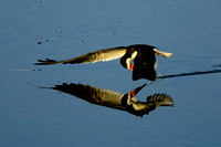 Black Skimmer skimming reflection