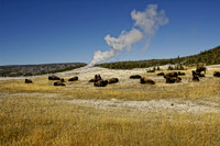 Bison waiting for Old Faithful to go off