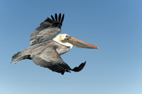 Flying Brown Pelican 3