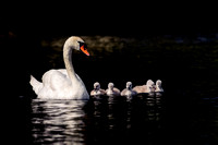 Mute Swan with 6 Chicks