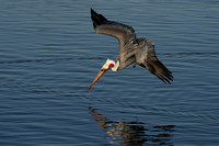 Brown Pelican Plunge Diving