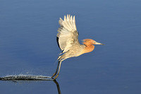 Reddish Egret lifting off the water