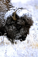 Bison Grazing in a snow storm