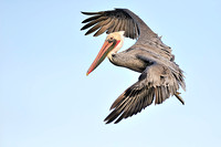 Brown Pelican looking to dive 2