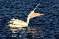White Pelican Headthrow on water