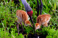 Sandhill Crane mother teaching chicks to dig for worms