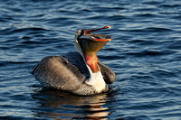 Brown Pelican with fish 3