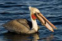 Brown Pelican with fish 2