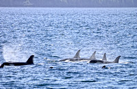 Orca Pod in the Johnstone Straights, B.C. Canada