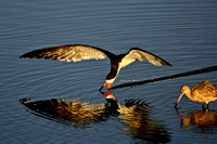Black Skimmer skimming next to a Marbled Godwit