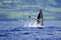 Breaching Humpback in Maui 2