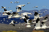 Group of Flying Snow Geese