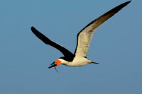 Flying Black Skimmer with Fish