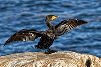Cormorant Drying Wings Frontal View