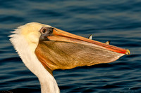 Brown Pelican with fish