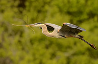GBH Flying with nesting material