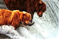 2 Bears on Falls one with a Salmon