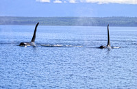 2 large Orca Males in the Johnstone Straights, B.C. Canada