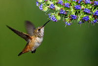 Allen's humming Bird feeding