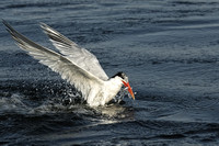 Elegant Tern exiting dive with a fish