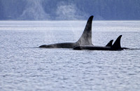 Male Orca with Female and Juvenile in Johnstone Straights, B.C. Canada