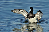 Lesser Scaup Wing Flap 2