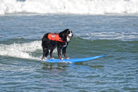 Bernese Mountain Dog Surfing
