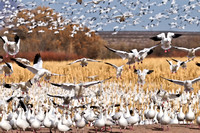 More Snow Geese returning after blast off