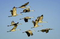 11 Cranes displaying all wing positions
