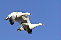 Pair of flying Snow Geese