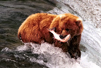 Bear on Falls with salmon