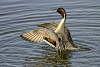 Northern Pintail Wing Flap