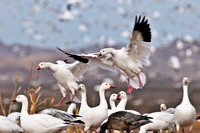Snow Geese returning after blast off