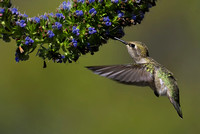 Anna's Hummingbird feeding 3