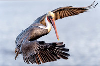 Brown Pelican looking to dive