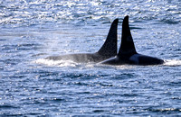 2 Orca Dorsal fins side by side in the Johnstone Straights, B.C. Canada