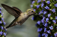 Anna's Hummingbird feeding 4
