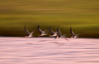 Black Skimmer Blurr