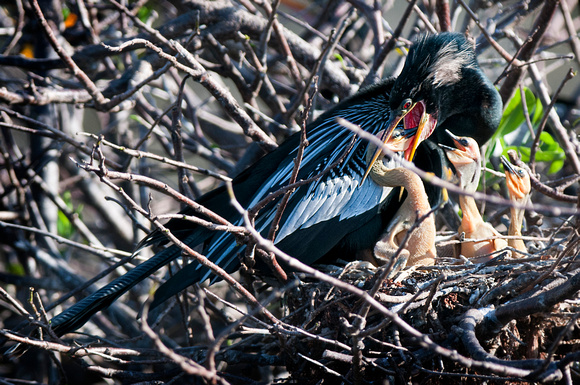 Anhinga on nest feeding 3 chicks