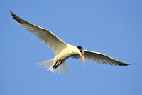 Elegant Tern Hovering looking down for fish