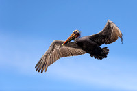 Flying Brown Pelican 2