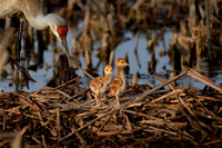 Sandhill Crane on nest with 3 day old Chicks