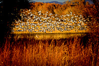 Late Afternoon Snow Geese Blast Off